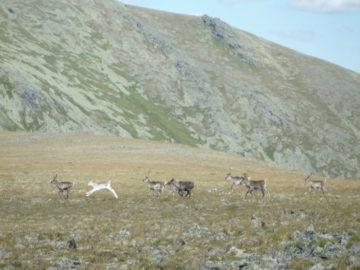 Северные олени под г. Отортен